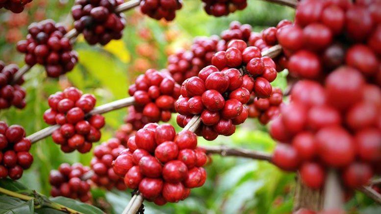 Em MT, 500 mil mudas de café já foram doadas a cafeicultores de 10 cidades